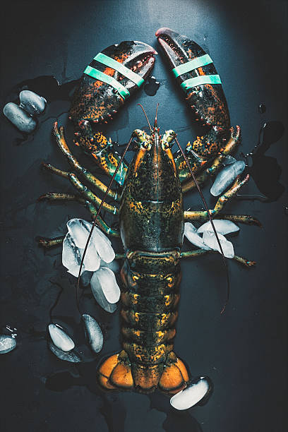 Fresh -and Alive- Lobster with Ice on Black Background stock photo