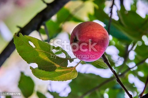 505840263istockphoto Fresh and delicious red with small black spots apple on a stick with green leaves 1030461776