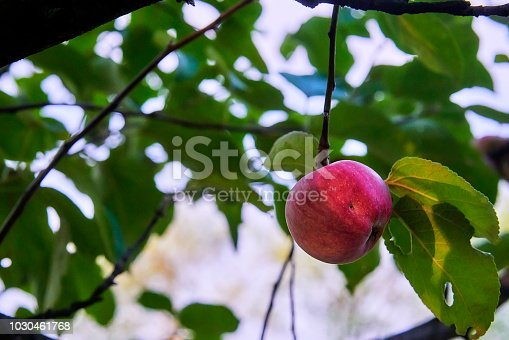 505840263istockphoto Fresh and delicious red with small yellow-green spots apple on a stick with green leaves 1030461768