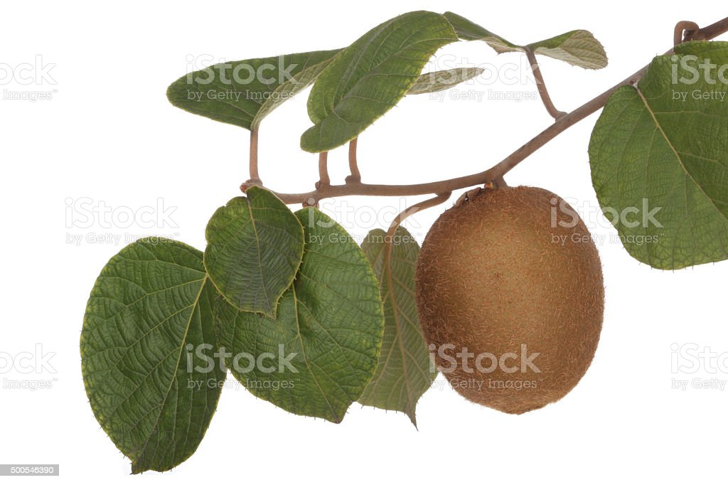 Fresh and fruity Kiwis with leaves stock photo