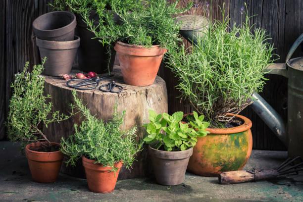 鄉土園林中的鮮綠草本 - 草本植物 個照片及圖片檔