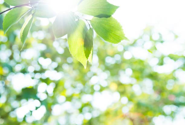 バックグルーオンドのための新鮮な葉と緑の葉 - 木漏れ日 ストックフォトと画像