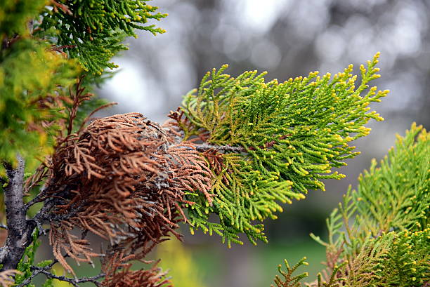 fresh and old arborvitae leaves in spring stock photo