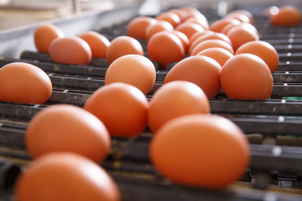 Fresh and raw chicken eggs on a conveyor belt Fresh and raw chicken eggs on a conveyor belt, being moved to the packing house. Consumerism, egg production, automated business, organic farming concept. white meat stock pictures, royalty-free photos & images