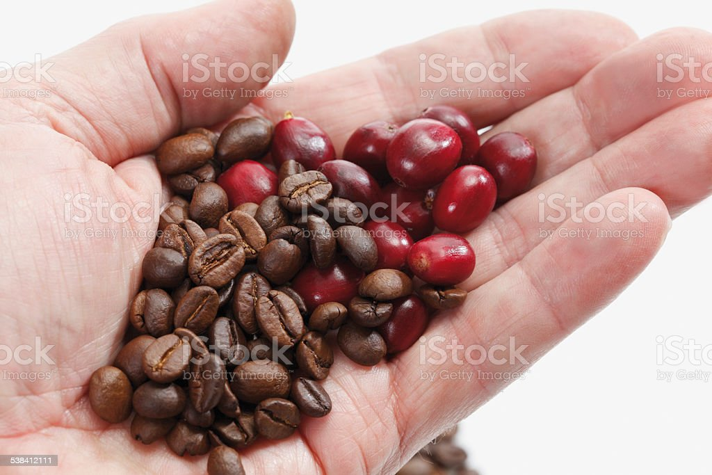 Fresh and roasted coffee beans in hand stock photo