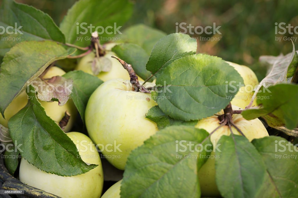 Fresh apple crop outdoors royalty-free stock photo
