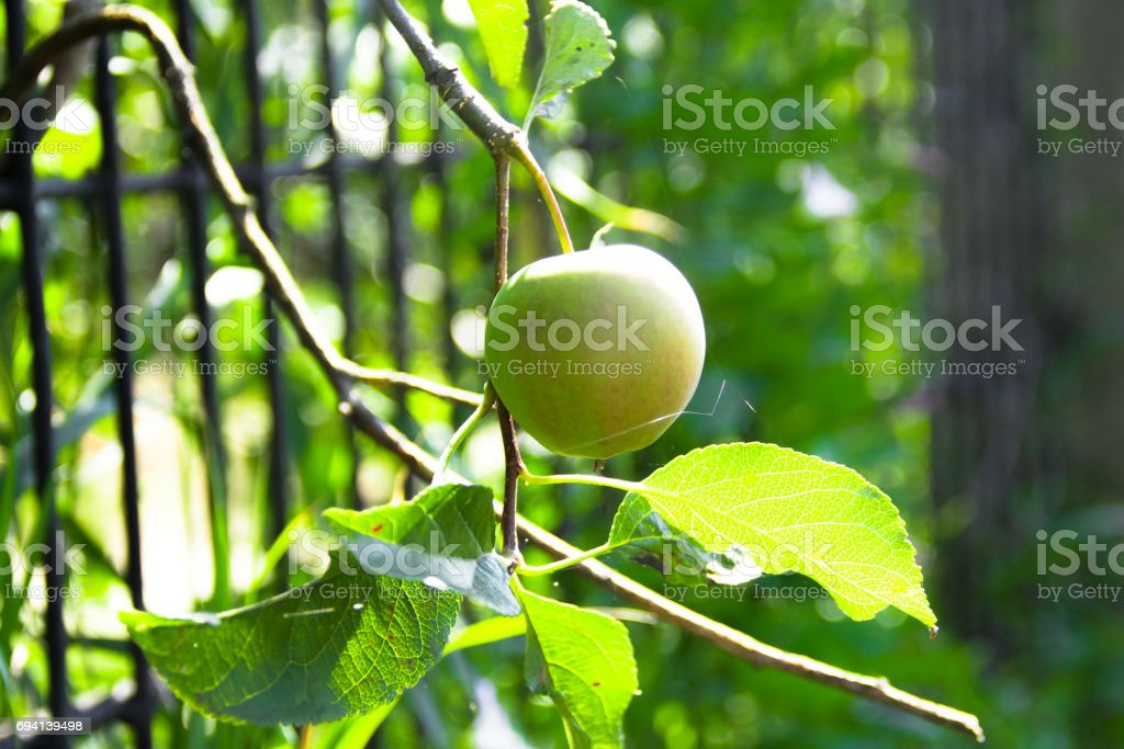 Fresh apple in the orchard stock photo