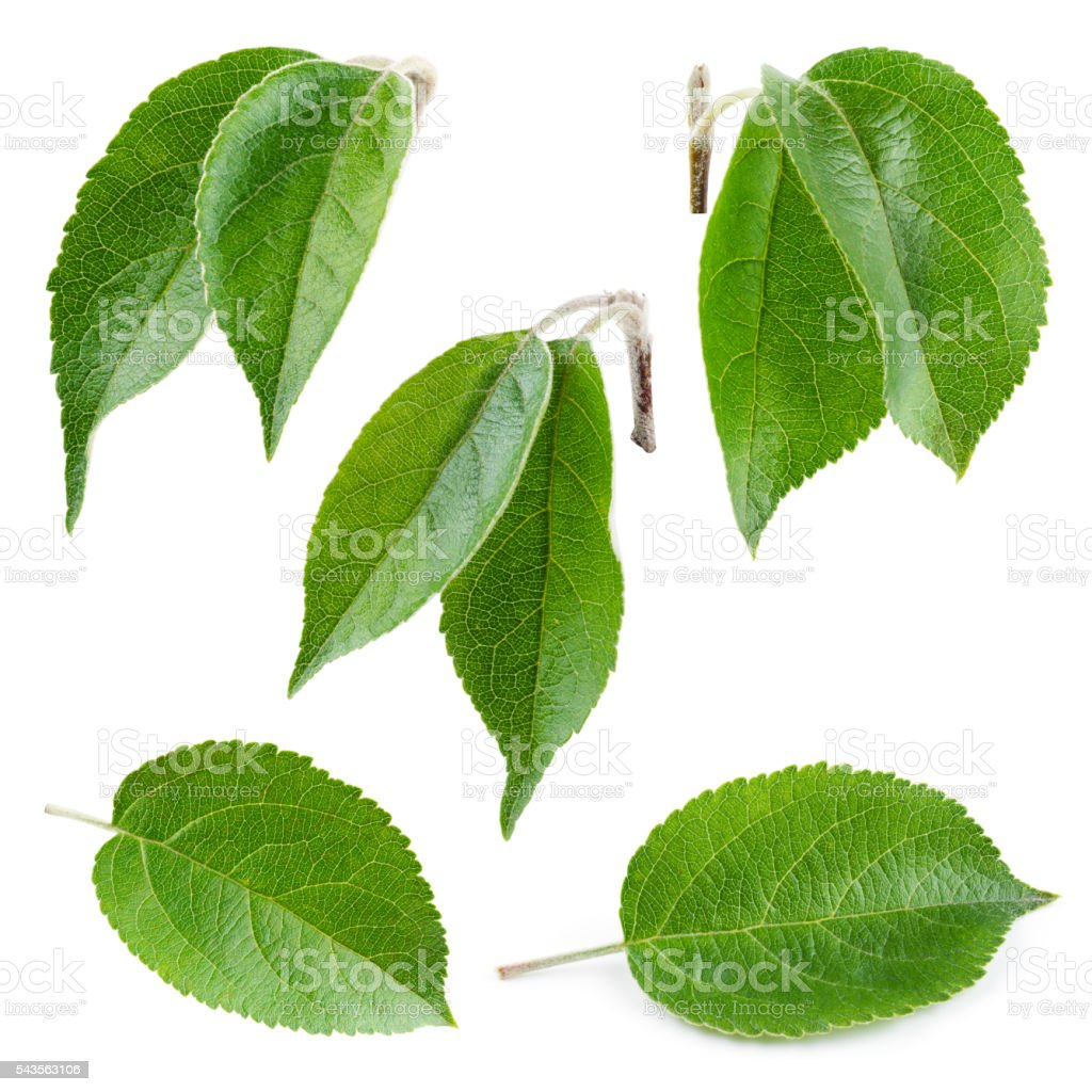 Fresh apple leaf isolated on white. Collection. – Foto