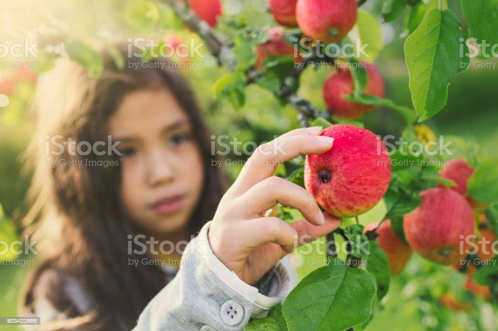 Fresh apples from a tree stock photo