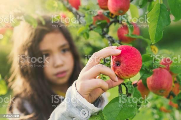 Verse Appels Uit Een Boom Stockfoto en meer beelden van 8-9 jaar