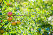 Fresh apples growing on a tree