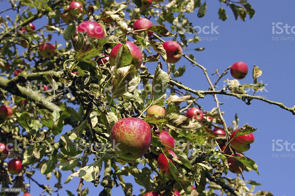 Fresh apple's in the orchard royalty-free stock photo