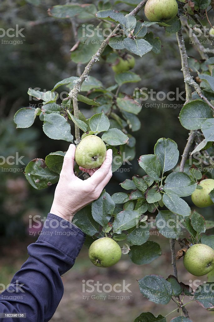 Fresh apples on the tree royalty-free stock photo