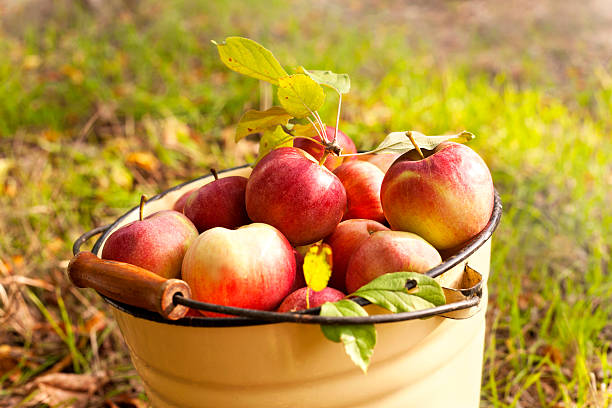 fresh apples fresh apples apple orchard stock pictures, royalty-free photos & images