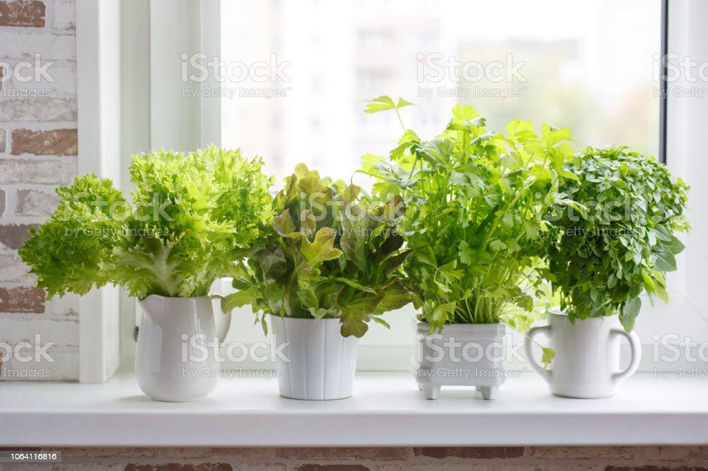 Frescas hierbas aromáticas culinarias en blanco macetas en el alféizar de la ventana. Lechuga, apio de hoja y albahaca de hojas pequeñas. Jardín de hierbas de cocina. foto de stock libre de derechos