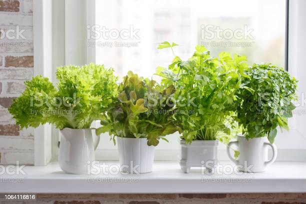 Fresh aromatic culinary herbs in white pots on windowsill lettuce picture id1064116816?b=1&k=6&m=1064116816&s=612x612&h=4rcmph8it0seq8minj5wiksft rmqeef 2cvbcbeozc=