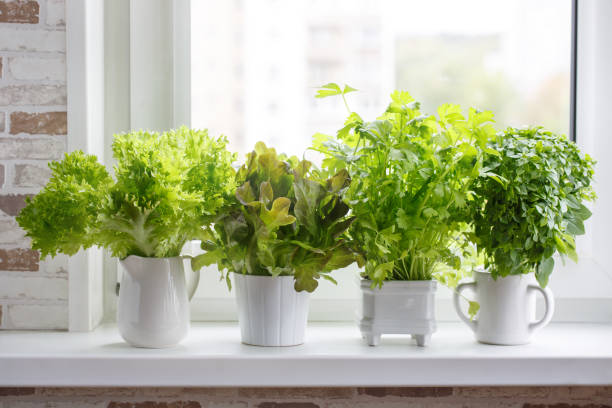 fresh aromatic culinary herbs in white pots on windowsill. lettuce, leaf celery and small leaved basil. kitchen garden of herbs. - erva imagens e fotografias de stock