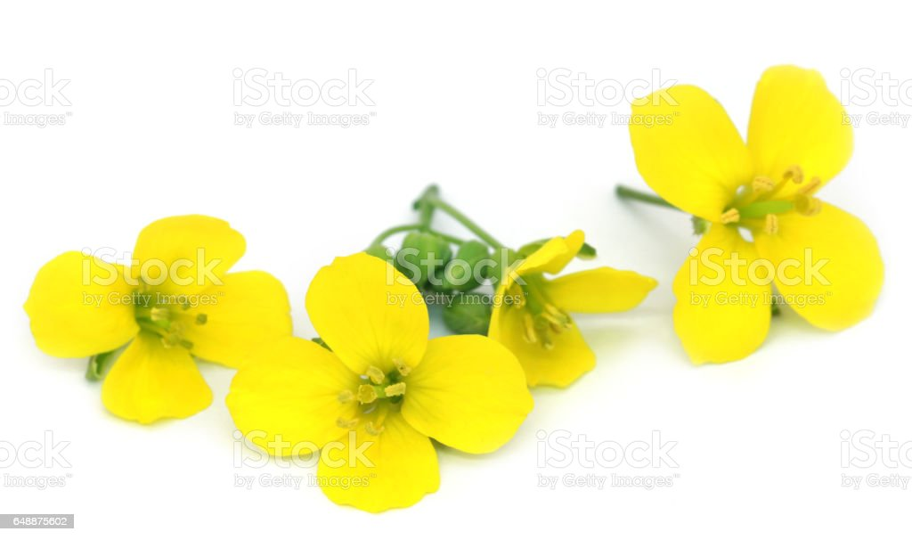 Fresh arugula or rucola flowers stock photo