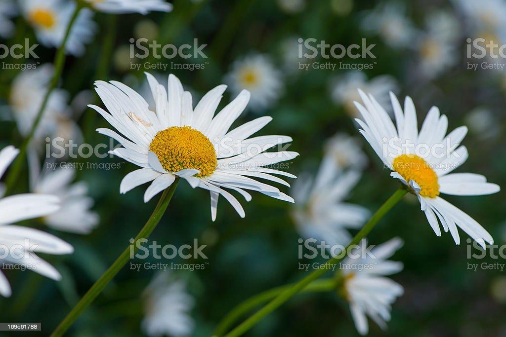 Frische als daisy – Foto