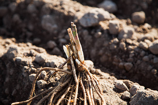 Fresh asparagus root on field stock photo
