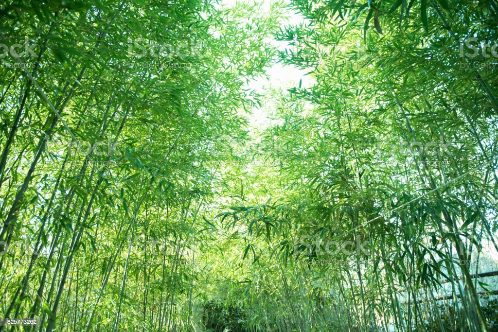 Fresh bamboo forest in springtime stock photo