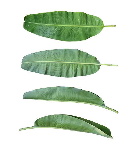 Fresh banana leaf isolated on white background. stock photo