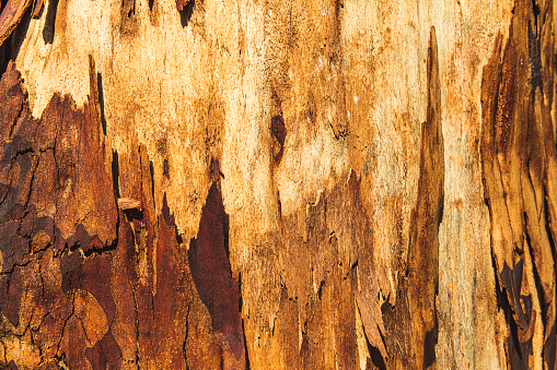 Fresh bark on tree trunk after forest fire in Australia