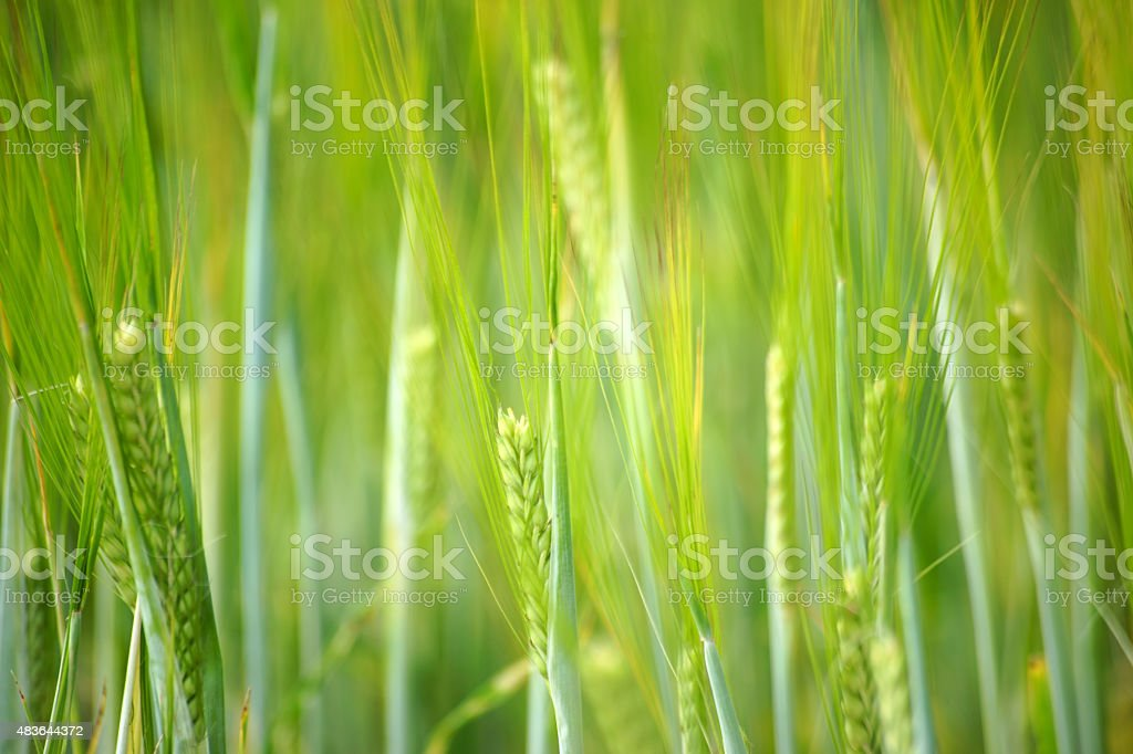 Fresh barley stock photo