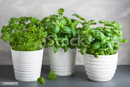 fresh basil and parsley herb in pot