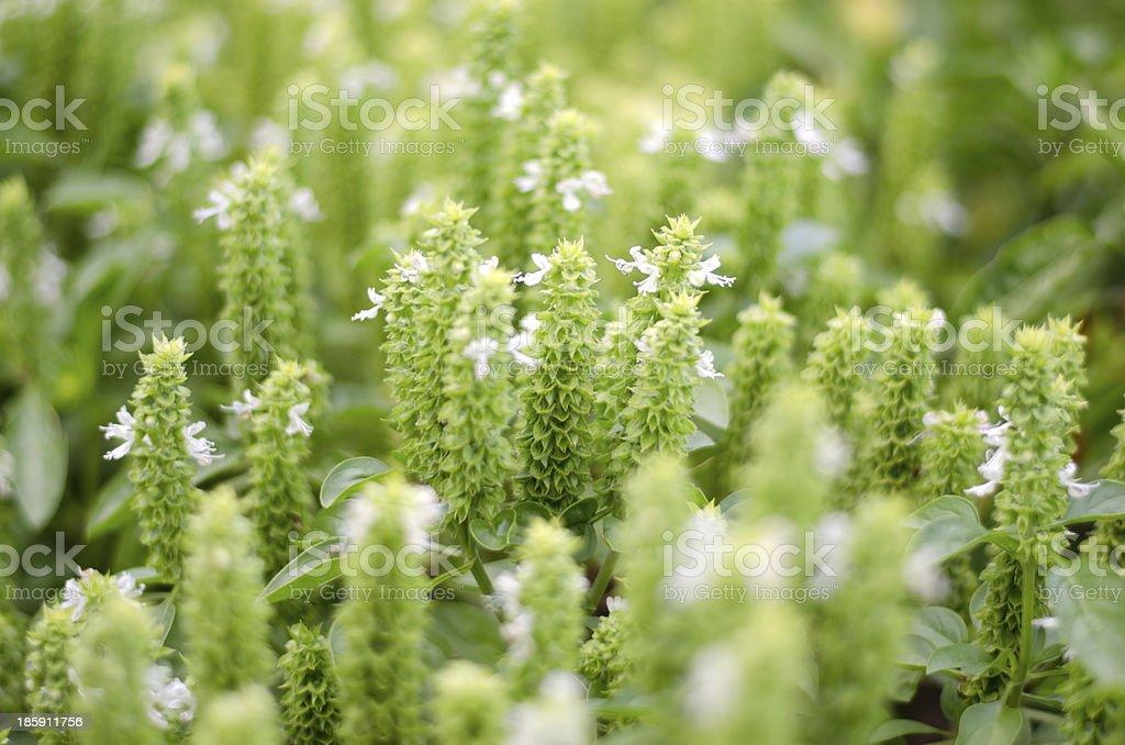 Fresh basil (thulsi) flower plants in the garden royalty-free stock photo