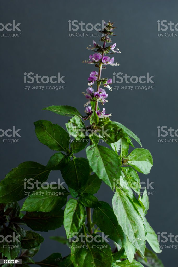 Fresh basil flowers on the plant on a black background stock photo