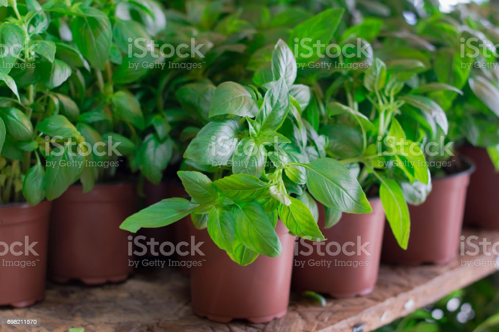 Fresh basil for sale on farmer's market. Agriculture background. Close-up. Top view stock photo
