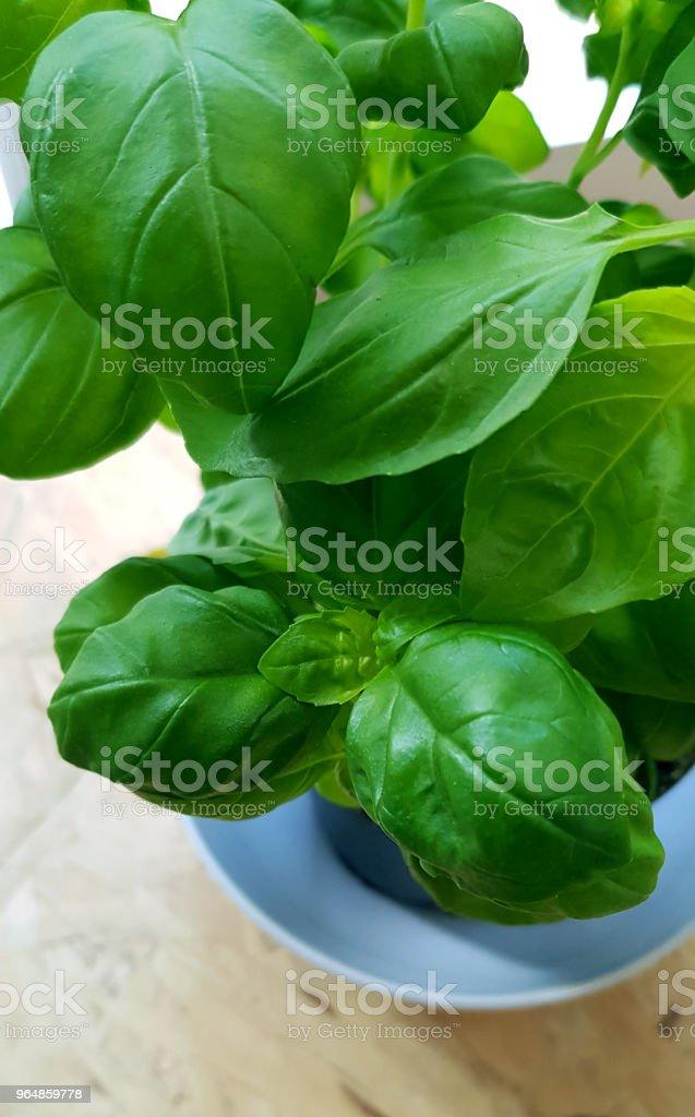 Fresh basil green leaves closeup top view. royalty-free stock photo