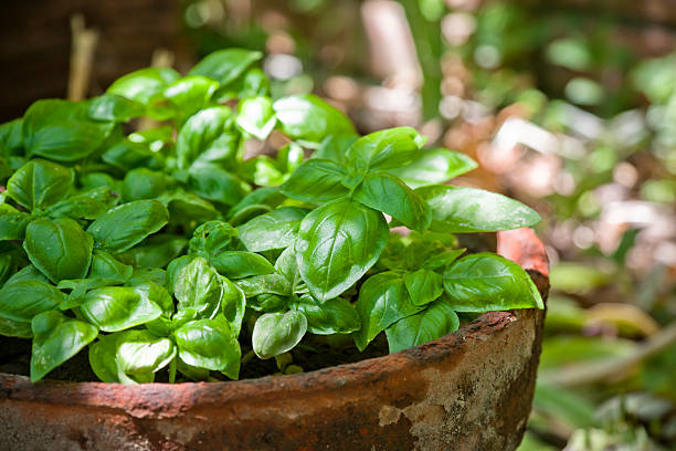 fresh basil growing in an old terracotta pot outdoors - basil stock photos and pictures