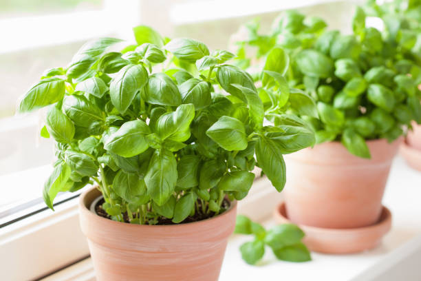 fresh basil herb in pot fresh basil herb in pot basil stock pictures, royalty-free photos & images