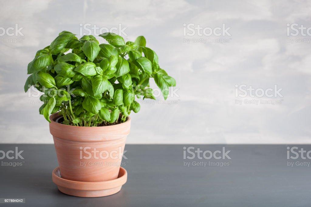 fresh basil herb in pot stock photo