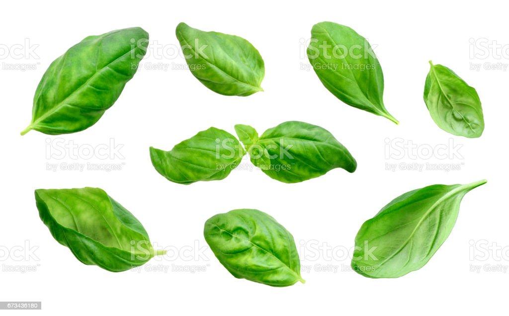 Fresh basil leaves, isolated on white background stock photo