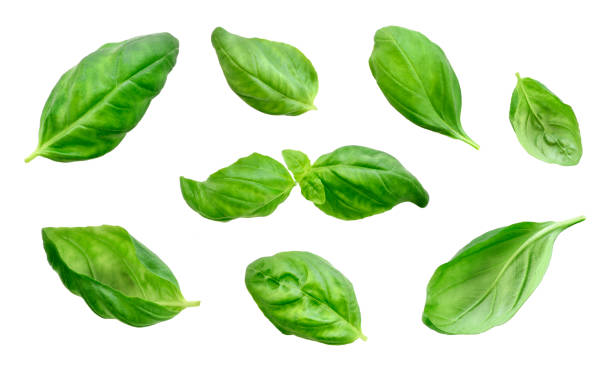 fresh basil leaves, isolated on white background - basil stock photos and pictures