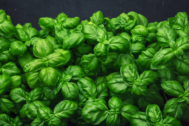 fresh basil on a dark background. green basil. fresh basil on a dark background. green basil. food background. a lot of basil - basil stock photos and pictures