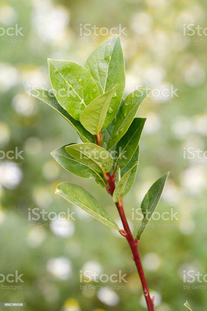 Fresh bay leaf stock photo