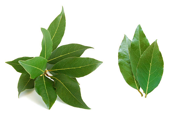 Fresh bay leaves on white background stock photo