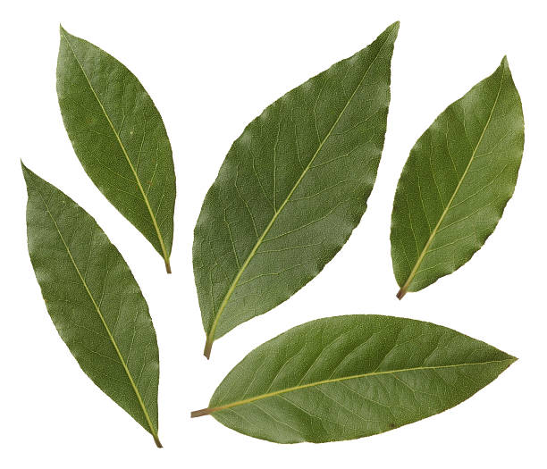 Fresh Bay leaves Bay leaves isolated on white background bay leaf stock pictures, royalty-free photos & images