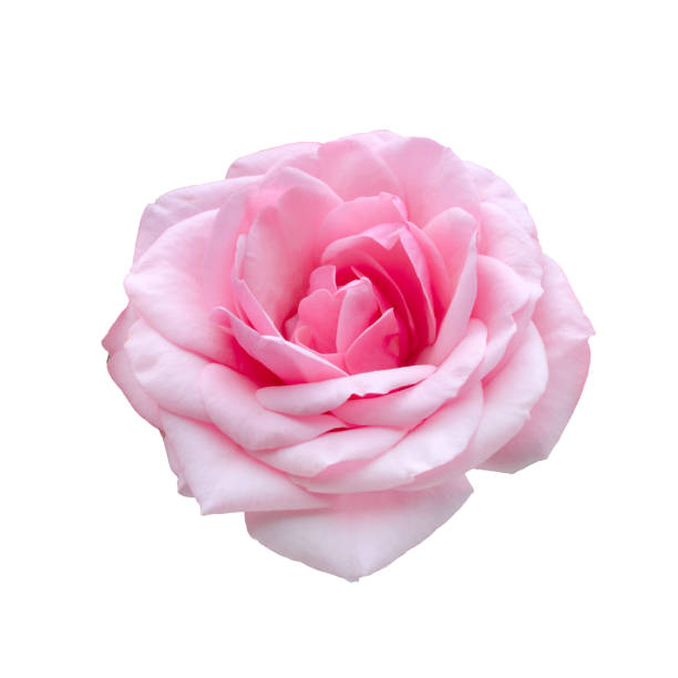 Fresh beautiful pink rose isolated on white background picture id1178103314?b=1&k=6&m=1178103314&s=612x612&w=0&h=3bppgcknsdecrplejx9r1nrdhqykzr82nrq a czlem=