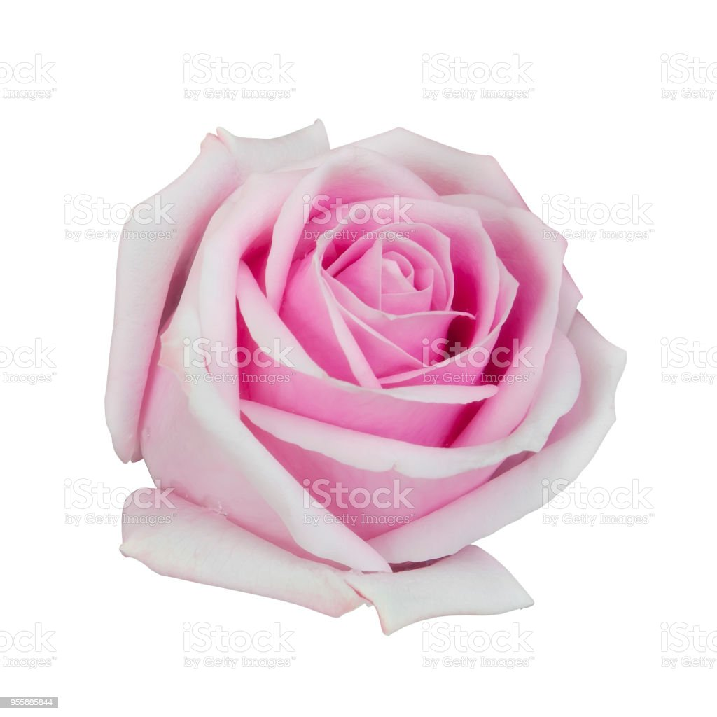 Fresh Beautiful Pink Rose Petal And Aroma With Drop Of Water For