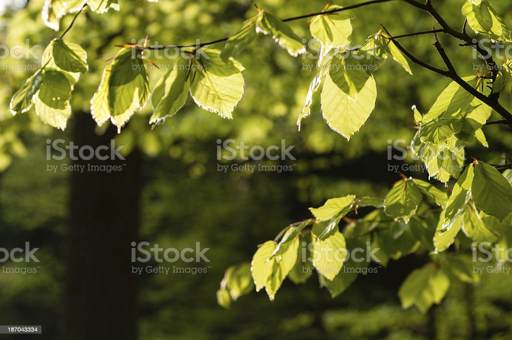 Fresh Beech leaves in spring, Southern Germany royalty-free stock photo