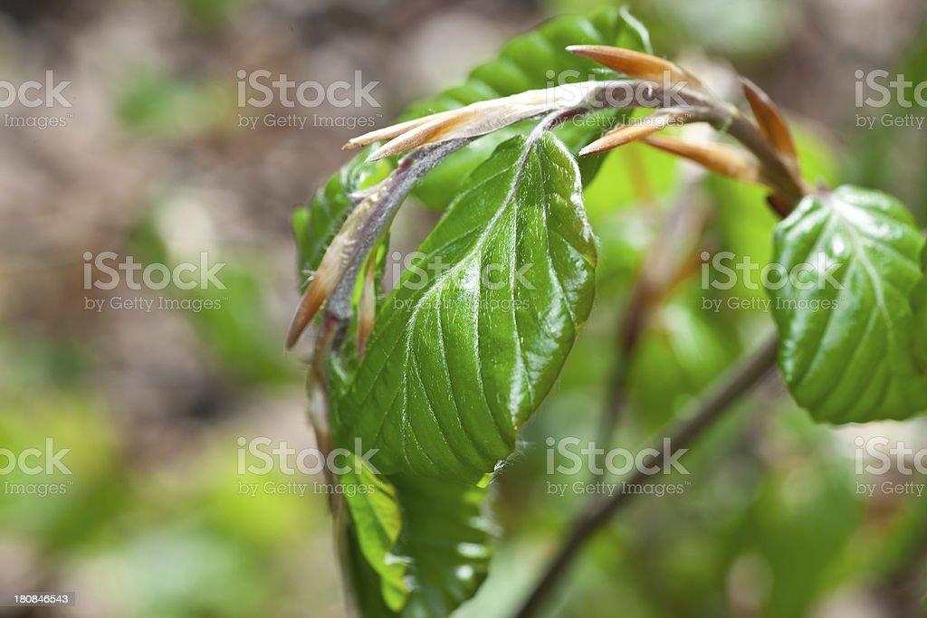 Fresh beech leaves royalty-free stock photo