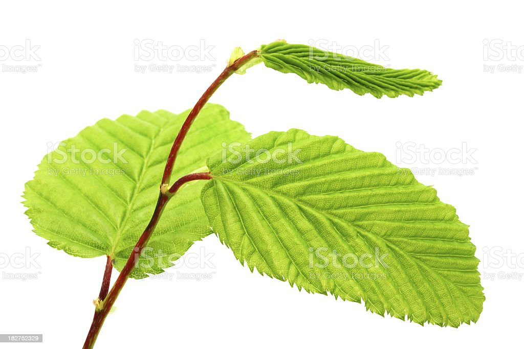 Fresh Beech Tree Leaves on White Background royalty-free stock photo