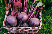Fresh beet, beetroot harvest in wooden basket on green grass garden background