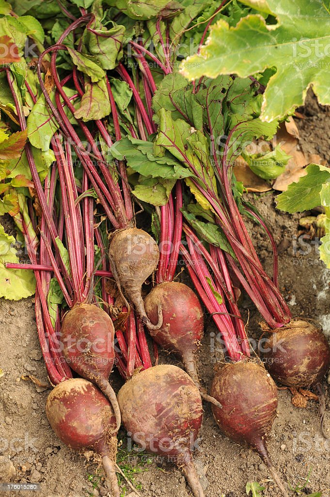 Fresh beetroot just dug from the vegetable patch royalty-free stock photo