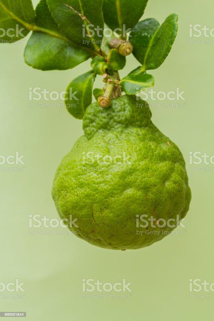 Fresh Bergamot. stock photo